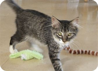 Maine Coon Kitten for adoption in League City, Texas - HAMLET - ADOPTED!!