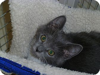 Domestic Shorthair Kitten for adoption in Randolph, New Jersey - Bow Tie