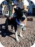 Border Collie/Labrador Retriever Mix Dog for adoption in Las Vegas, Nevada - Skunk-N
