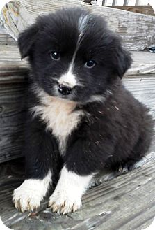 Border Collie Puppy for adoption in Oswego, Illinois - I'M ADOPTED Checkers Clark