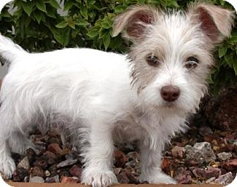 Wirehaired Fox Terrier Mix Puppy for adoption in Gilbert, Arizona - Apple