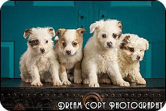 Poodle (Miniature)/Australian Shepherd Mix Puppy for adoption in Owensboro, Kentucky - Our Gang Puppies!