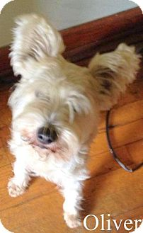 Westie, West Highland White Terrier/Poodle (Miniature) Mix Dog for adoption in New Jersey, New Jersey - N Middletown NJ - Oliver