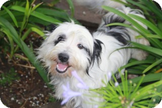 Tibetan Terrier/Lhasa Apso Mix Dog for adoption in Norwalk, Connecticut - Manchester