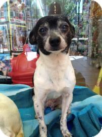 Chihuahua Mix Dog for adoption in Philadelphia, Pennsylvania - Winston