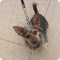 Terrier (Unknown Type, Small) Mix Dog for adoption in Freeport, New York - Fritz