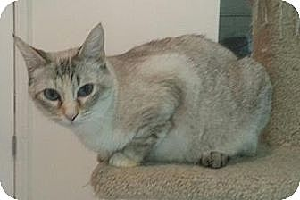 Siamese Cat for adoption in Knoxville, Tennessee - Sapphire