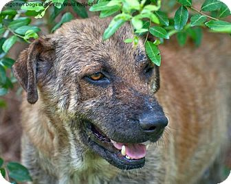 Black Mouth Cur/Shepherd (Unknown Type) Mix Dog for adoption in Houston, Texas - Dillon