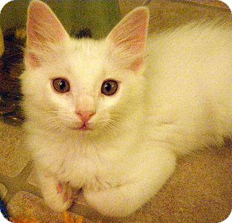 Domestic Shorthair Kitten for adoption in Chandler, Arizona - Ace
