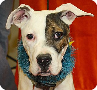 Boxer Mix Puppy for adoption in Jackson, Michigan - Sargent