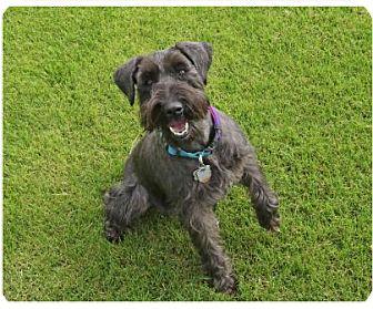 Schnauzer (Miniature) Mix Dog for adoption in Coachella, California - Lulu