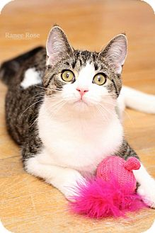 Domestic Shorthair Cat for adoption in Sterling Heights, Michigan - Norma Jean-ADOPTED