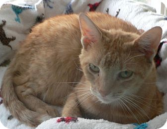 Domestic Shorthair Cat for adoption in Clarksville, Indiana - Nacho - Declawed
