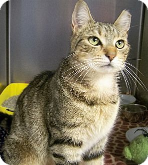 Domestic Shorthair Cat for adoption in Toledo, Ohio - Gracie