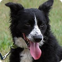 Adopt A Pet :: Hank - Lebanon, CT