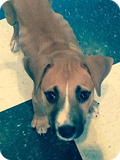 Border Collie/Jack Russell Terrier Mix Puppy for adoption in Sinking Spring, Pennsylvania - Lily
