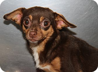 Chihuahua Mix Dog for adoption in Marietta, Ohio - Baby (Spayed)