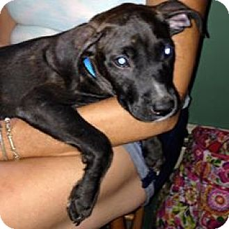 Labrador Retriever/Boxer Mix Puppy for adoption in North Brunswick, New Jersey - Delilah