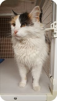 Domestic Longhair Cat for adoption in Douglas, Wyoming - Amber