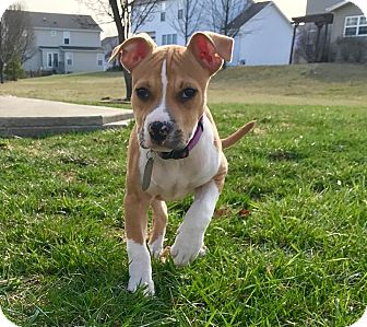 Pit Bull Terrier Mix Puppy for adoption in Dayton, Ohio - Sojo