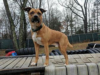 Boxer/Shepherd (Unknown Type) Mix Dog for adoption in Armonk, New York - Wally