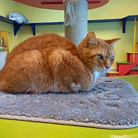 Domestic Shorthair Cat for adoption in Jupiter, Florida - Manny