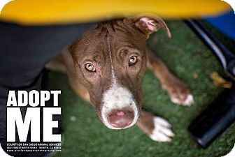 Pit Bull Terrier Mix Puppy for adoption in Vista, California - Cookie