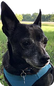 Chihuahua/Terrier (Unknown Type, Small) Mix Dog for adoption in Lisbon, Iowa - BJ