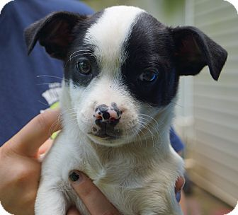 Boston Terrier/Chihuahua Mix Puppy for adoption in Newark, Delaware - Micah
