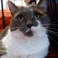 Domestic Shorthair/Domestic Shorthair Mix Cat for adoption in THORNHILL, Ontario - Viola