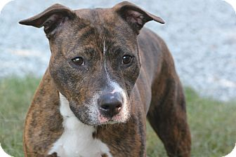Pit Bull Terrier Mix Dog for adoption in Greensboro, North Carolina - Nina