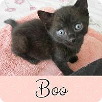 Domestic Shorthair Kitten for adoption in Lansdowne, Pennsylvania - Boo