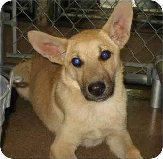 German Shepherd Dog Mix Puppy for adoption in Dripping Springs, Texas - Bridget