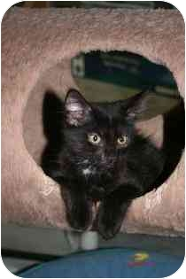 Domestic Mediumhair Kitten for adoption in Marietta, Georgia - Eleanor