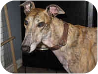 Greyhound Dog for adoption in Gerrardstown, West Virginia - Quatro (Ocean Breeze)