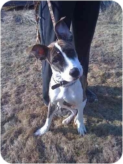 Boxer/Whippet Mix Puppy for adoption in Guelph, Ontario - Gonzo