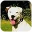 Photo 1 - American Staffordshire Terrier/American Bulldog Mix Dog for adoption in Mocksville, North Carolina - Shakira