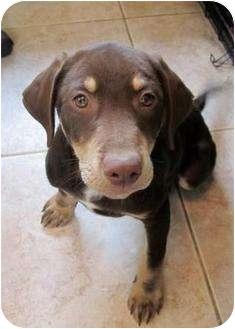 Doberman Pinscher/Shepherd (Unknown Type) Mix Puppy for adoption in Houston, Texas - Lestat