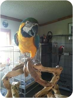 Macaw for adoption in Whitehall, Montana - Rio