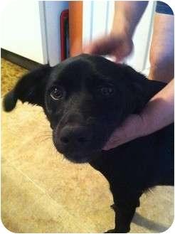 Labrador Retriever Mix Puppy for adoption in Lebanon, Maine - Gracie-AWESOME Girl!