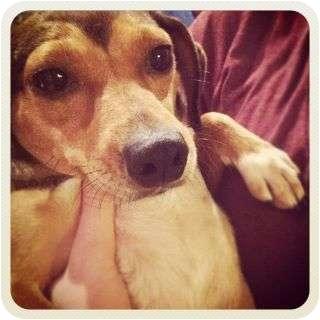 Beagle/Dachshund Mix Dog for adoption in New York, New York - Chella