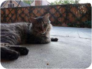 Maine Coon Cat for adoption in Houston, Texas - Marley