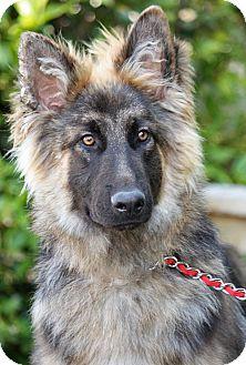 German Shepherd Dog Mix Puppy for adoption in Los Angeles, California - Ichigoo von Issel