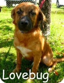 Retriever (Unknown Type) Mix Dog for adoption in Georgetown, South Carolina - Love Bug