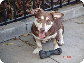 Basset Hound/Corgi Mix Dog for adoption in Bellflower, California - Jasper