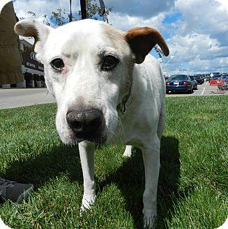Labrador Retriever/Cattle Dog Mix Dog for adoption in Birmingham, Michigan - Liam