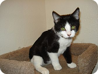 Domestic Shorthair Kitten for adoption in Brownsville, Texas - Scout