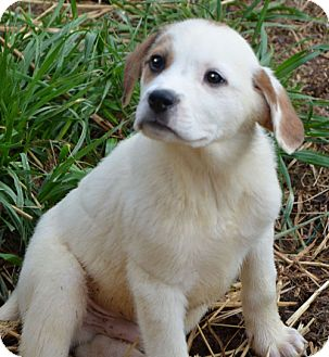 Great Pyrenees Mix Puppy for adoption in Hagerstown, Maryland - Thunder