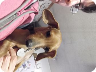 Dachshund Dog for adoption in Chattanooga, Tennessee - Flora