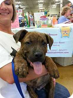 Rottweiler Mix Puppy for adoption in Orland Park, Illinois - Buster Brown